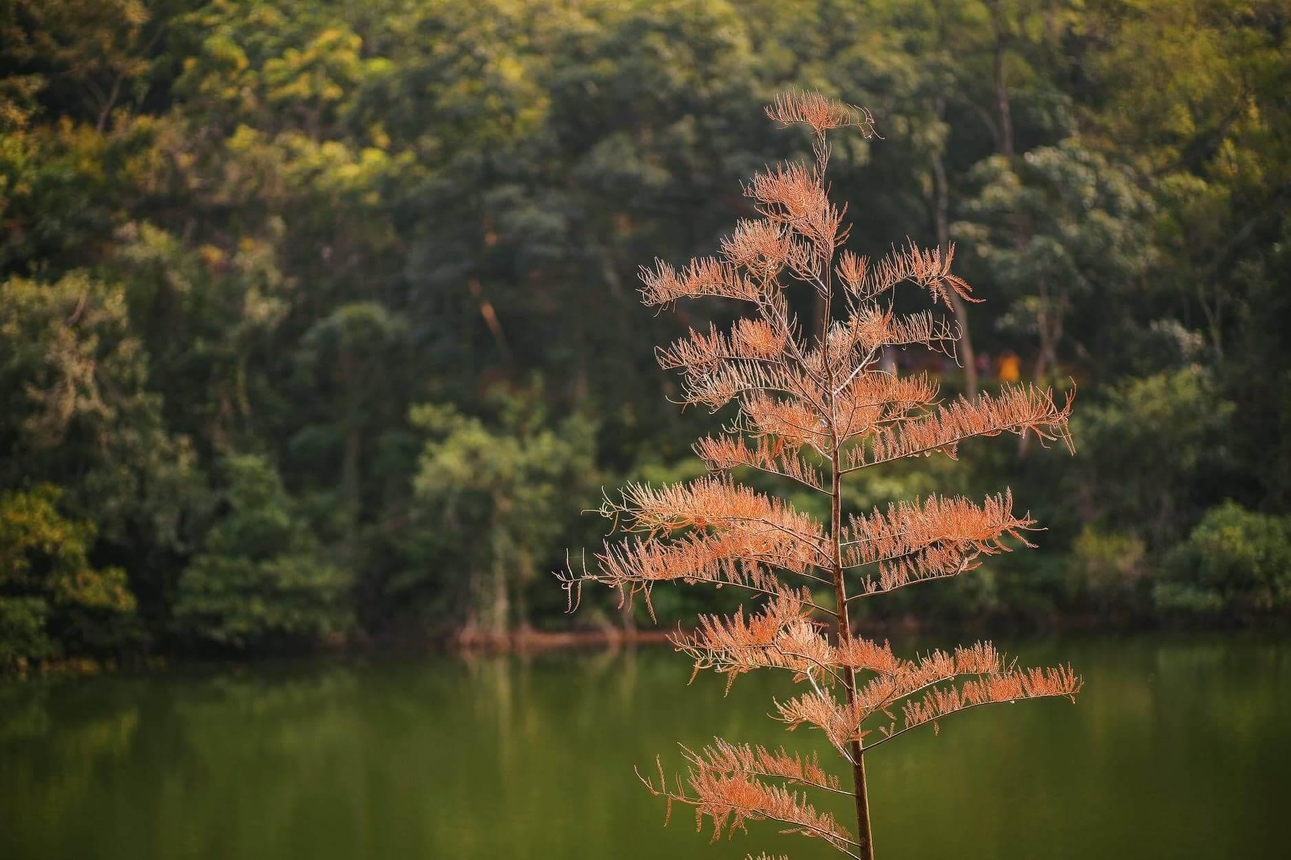 由於葉枝酷似羽毛,因而得名「落羽松」。