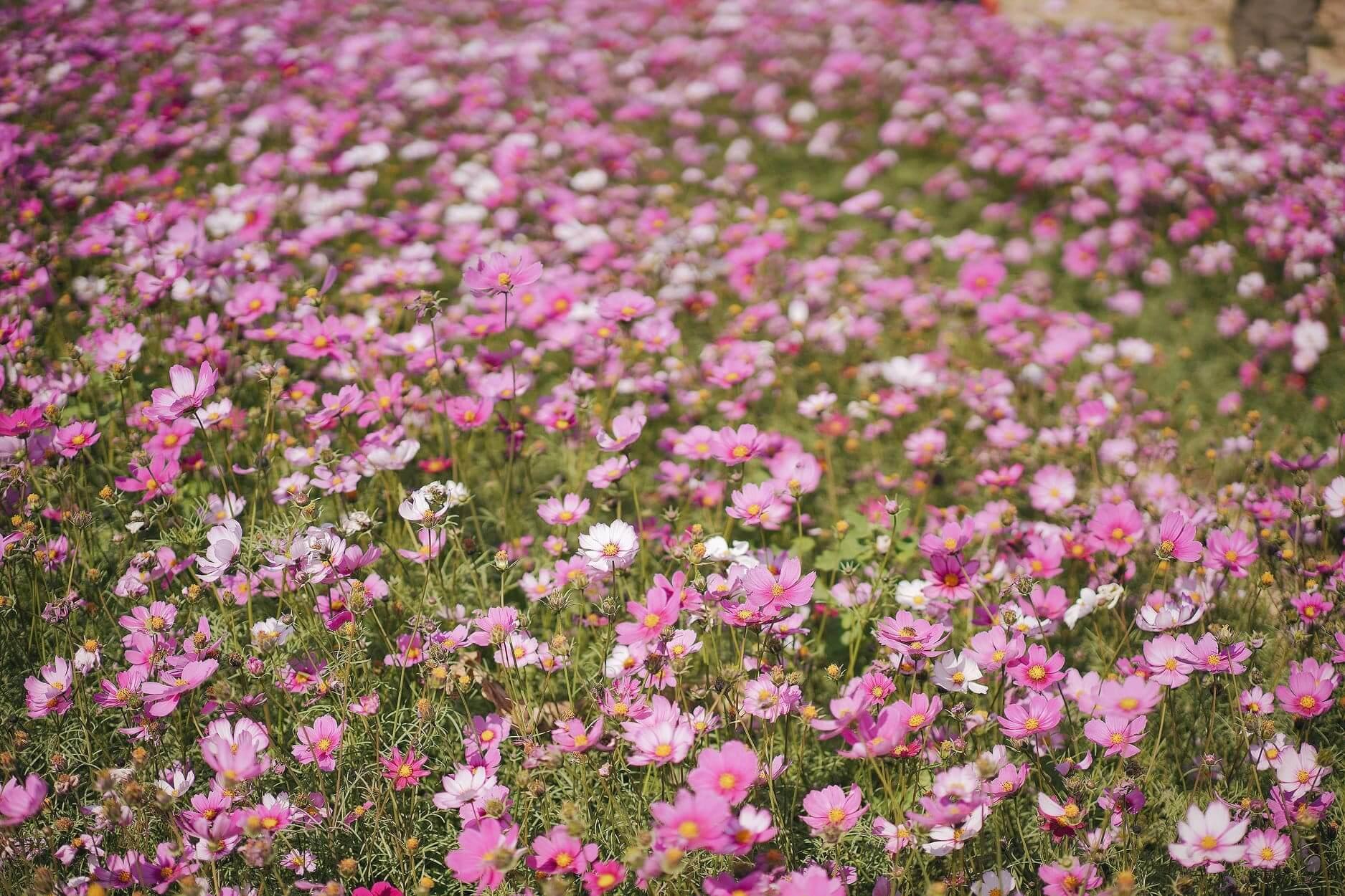 粉紅一片花海,非常夢幻。