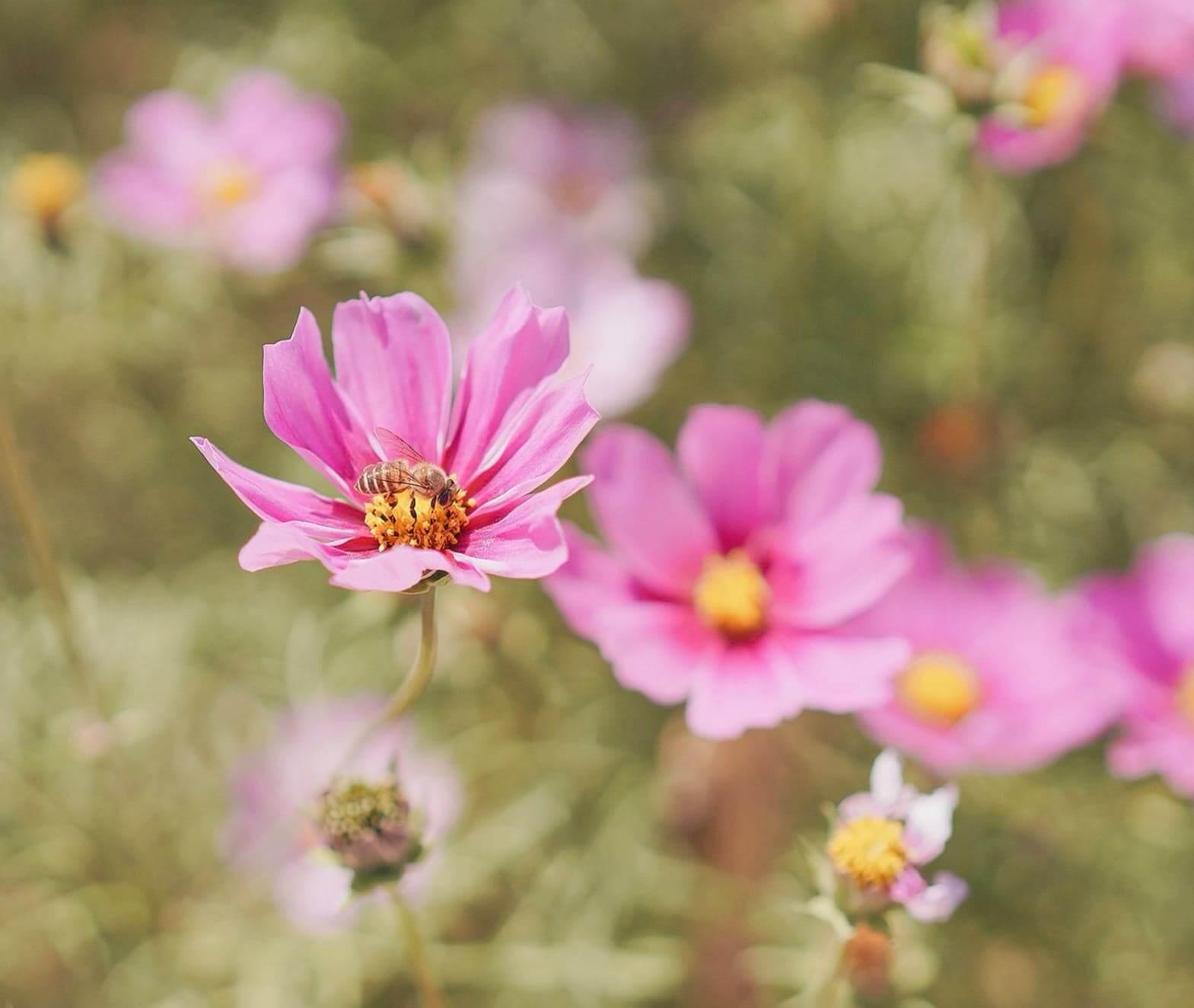 停在花朵上的蜜峰,是理想的攝影素材!