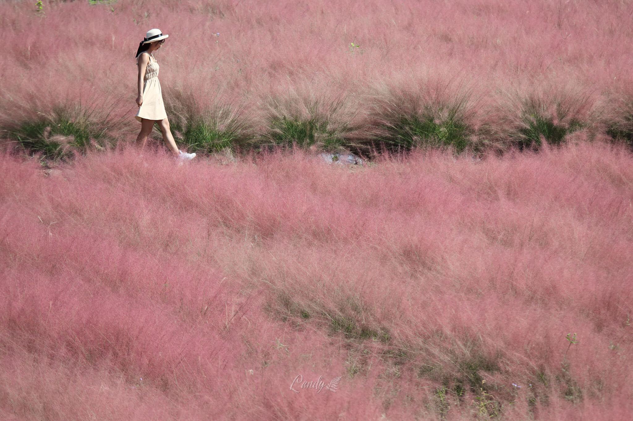 漫步粉紅芒草之間,好不浪漫。