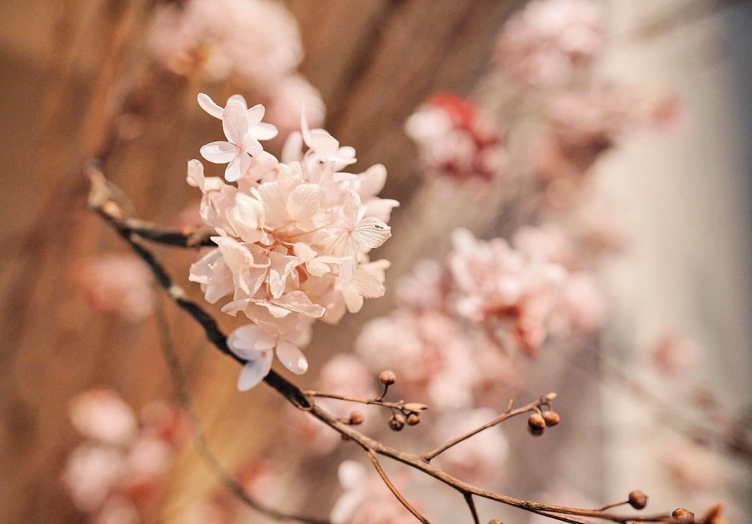 以繡球花瓣仿造櫻花效果。